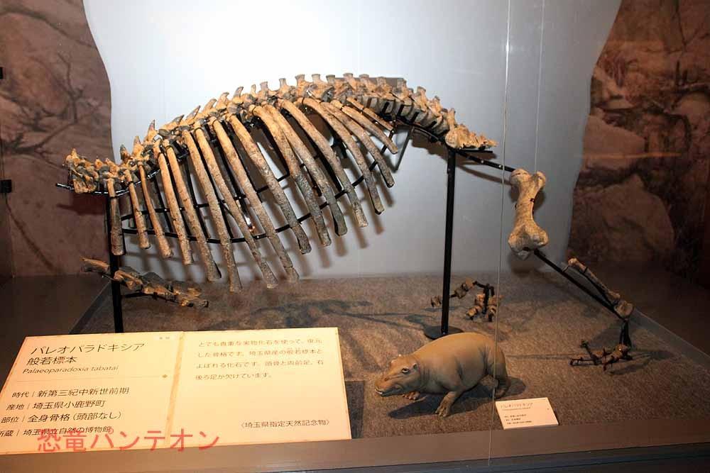 パレオパラドキシア(般若標本)実物化石。