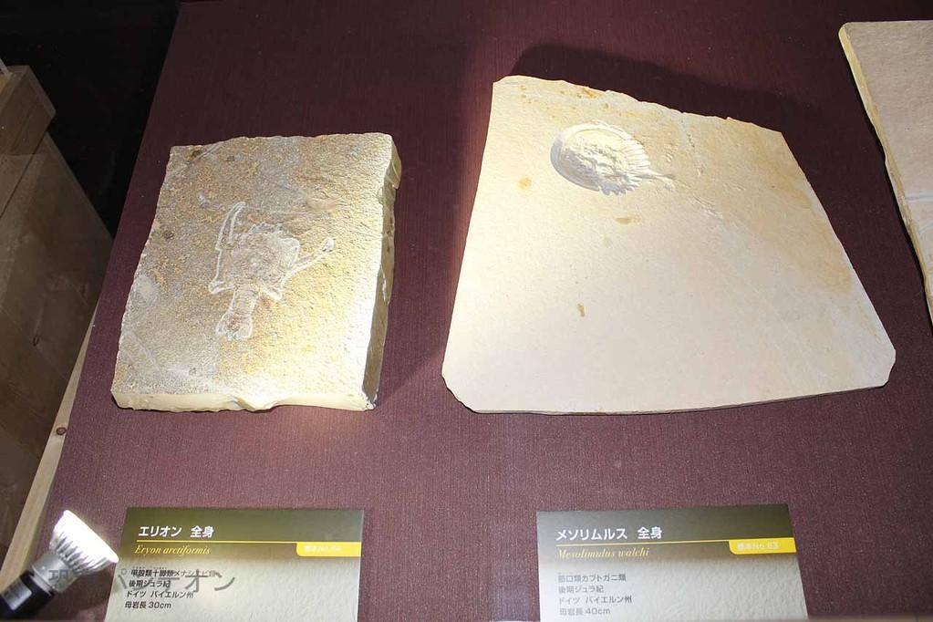 エリオン(左)とメソリムルス(右)