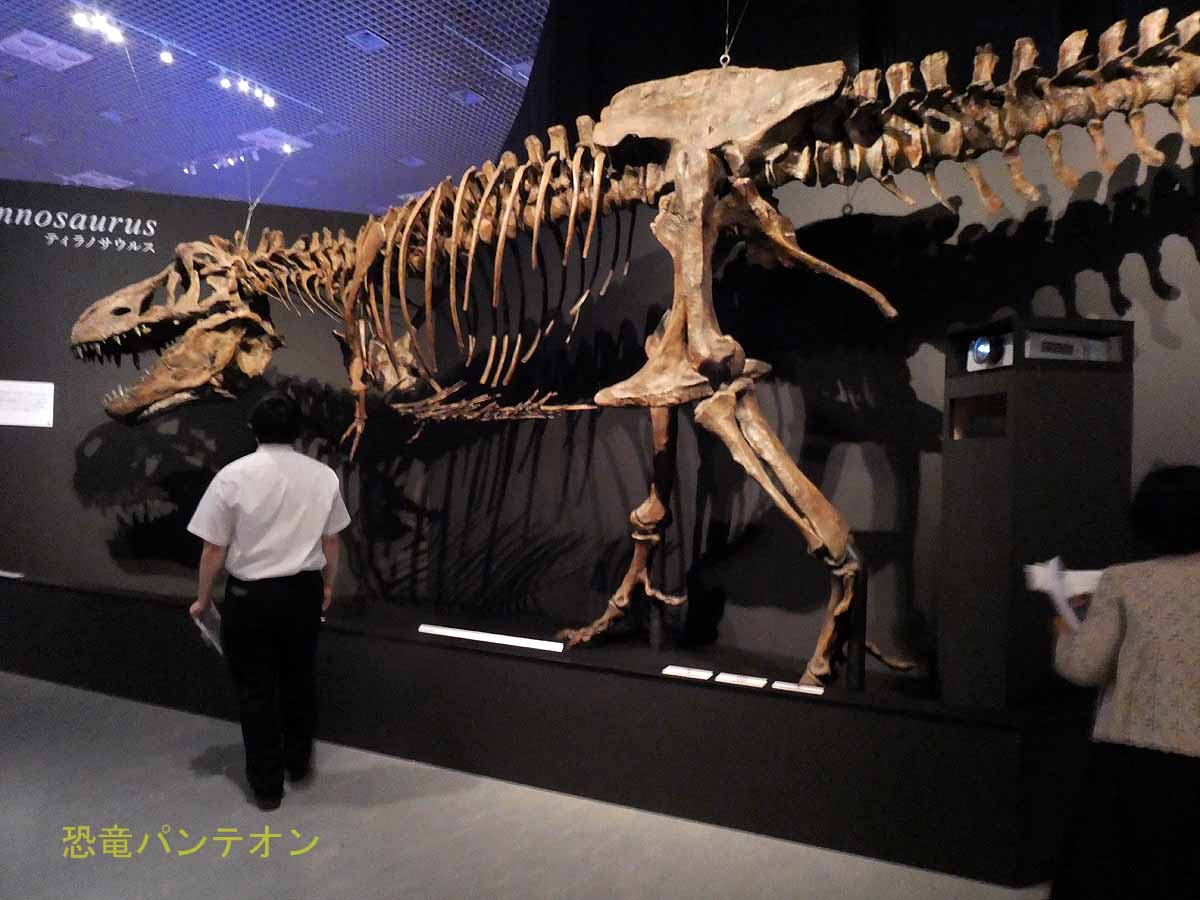 """世界最大のティラノサウルス""""スコッティ"""""""