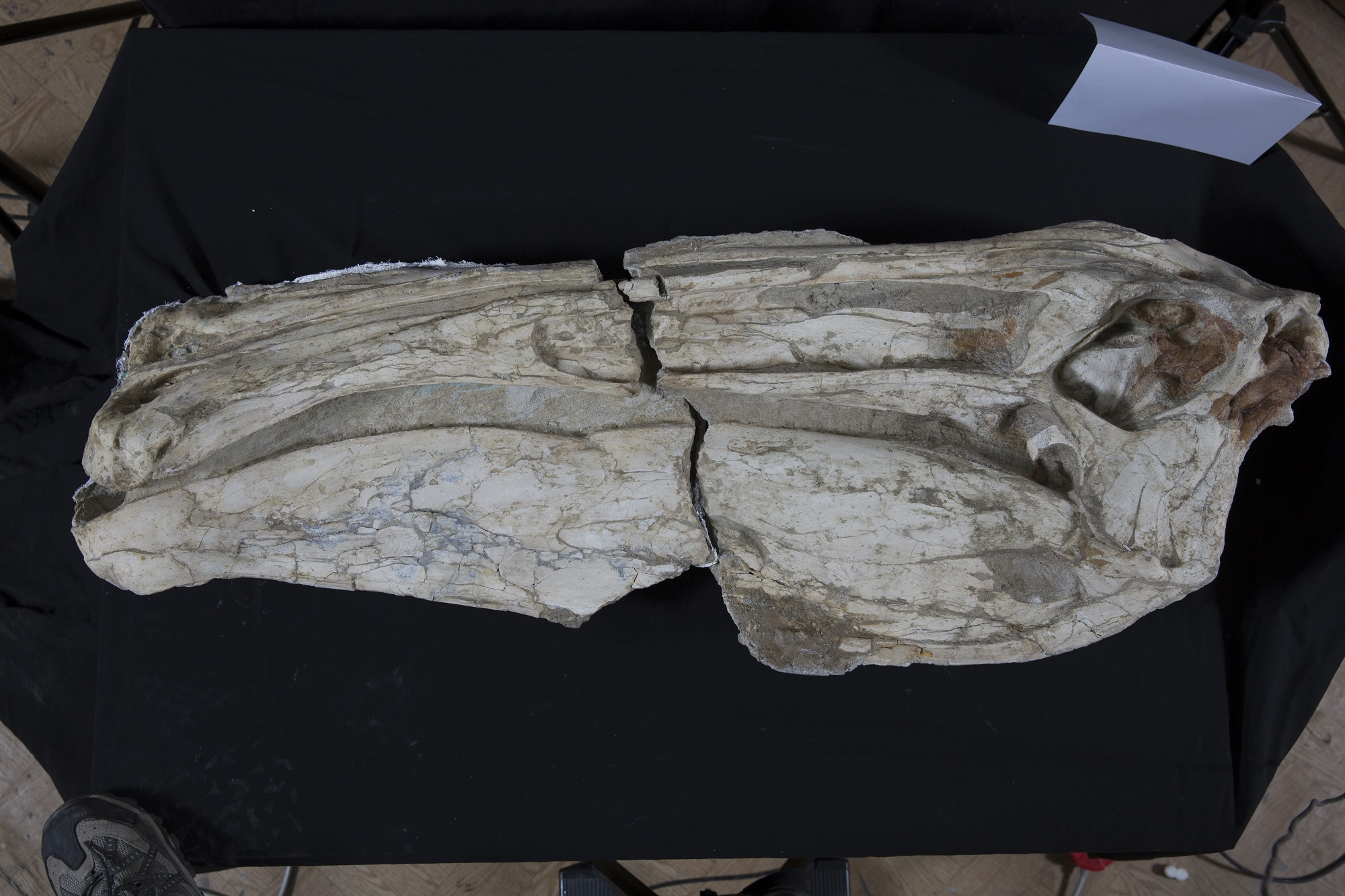 デイノケイルス 頭部 (実物化石)© Institute of Paleontology and Geology of Mongolian Academy of Sciences
