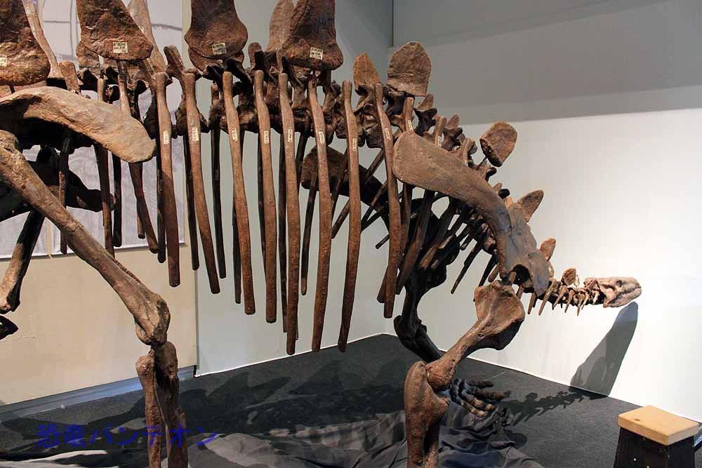 初期のケラトプシア類が登場した同時代の大型植物食恐竜、トゥオジャンゴサウルス。ステゴサウリア類の展示はこれ1体のみですが、さすが林先生、図録の解説は詳しいものです。