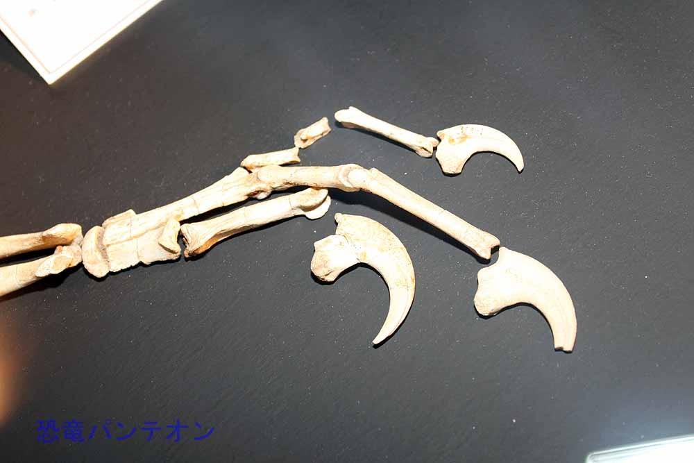 ヴェロキラプトル(実物化石)前肢