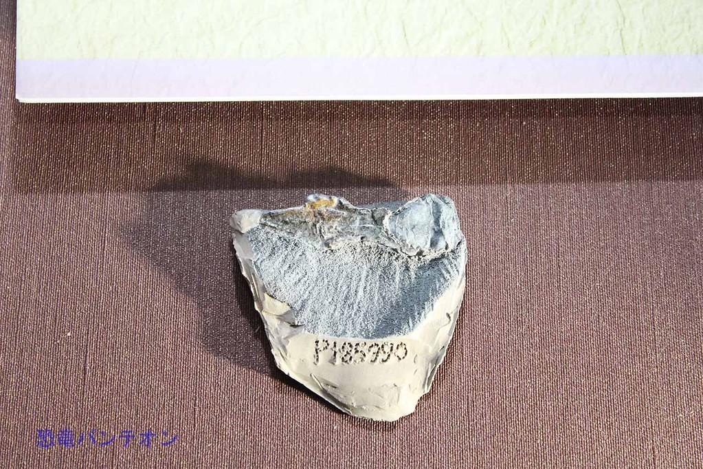 ゴンドワナといえば、もちろんオーストラリアの標本も展示されています。レエリナサウラ頭蓋