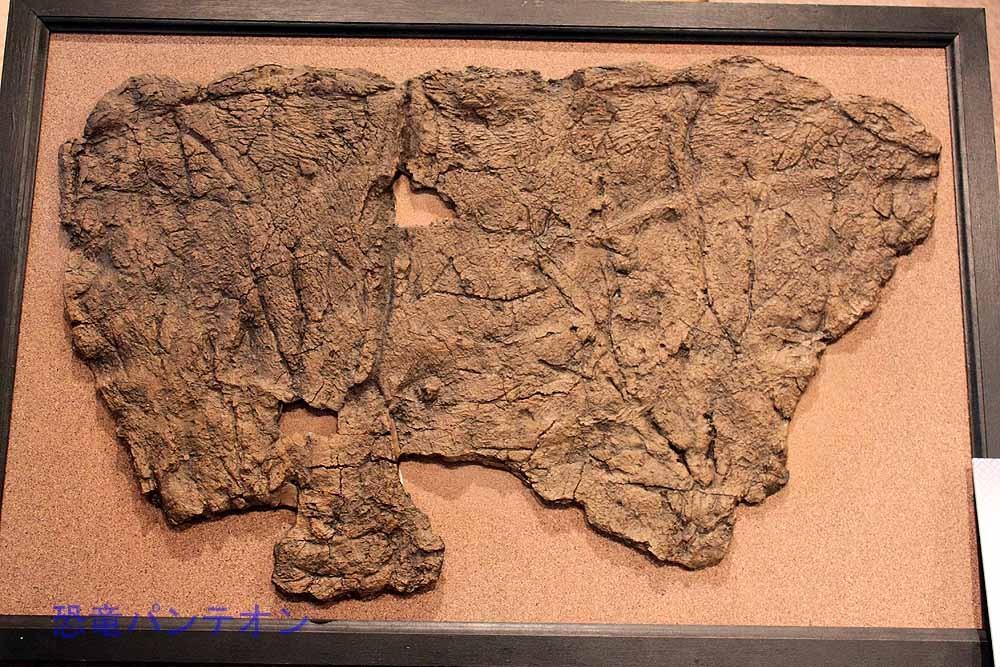 トリケラトプス頭骨フリル部