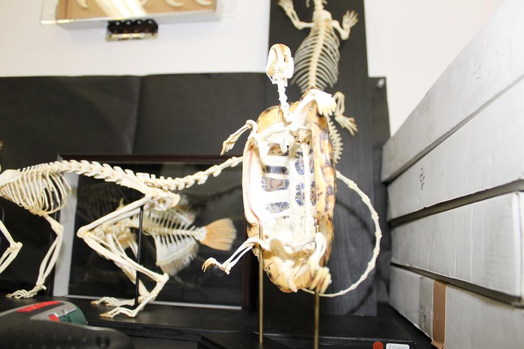 ㈲ミュージアムインポート パンケーキリクガメの骨格。