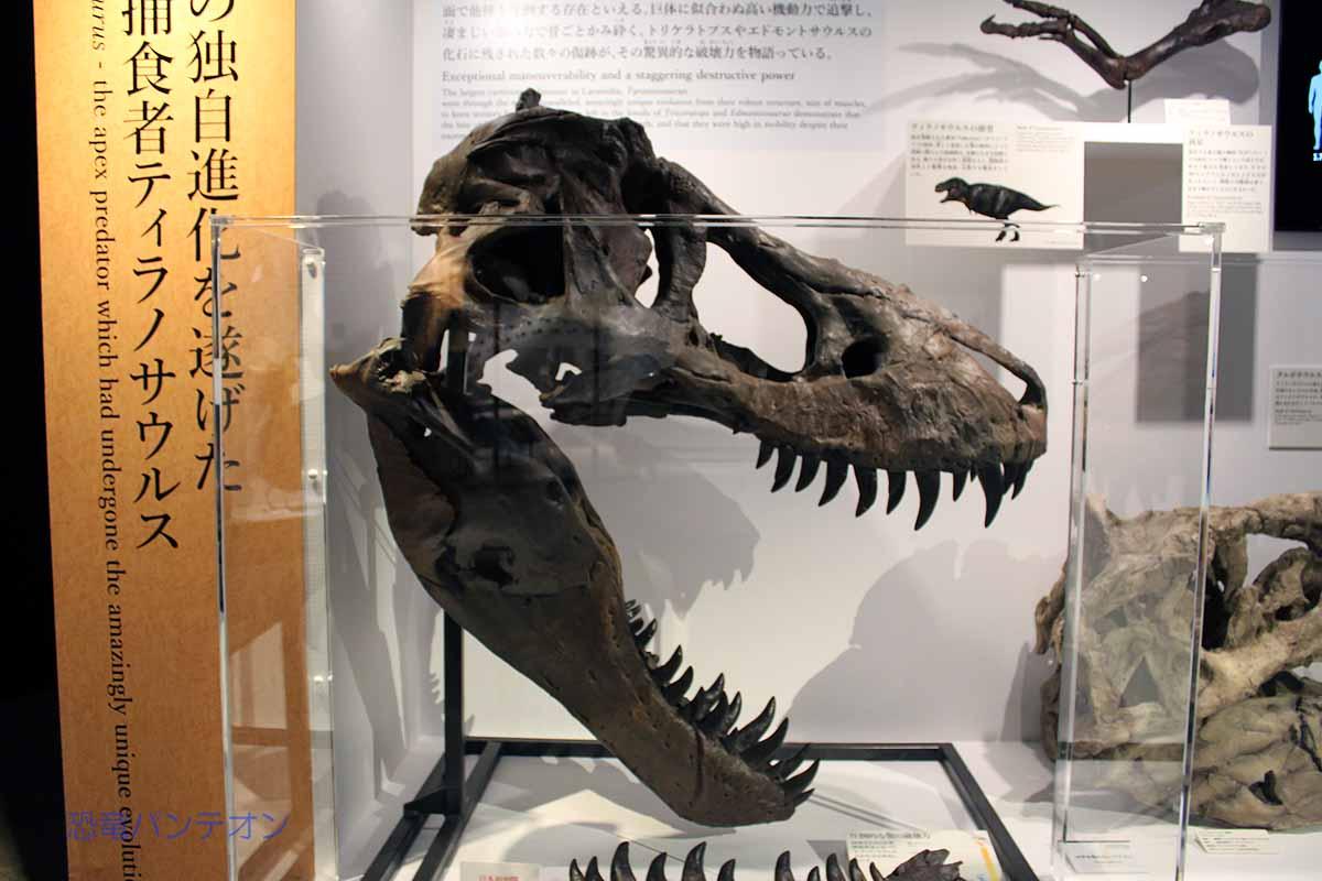 こちらの頭骨は「世界初公開」となっていたような気がする。