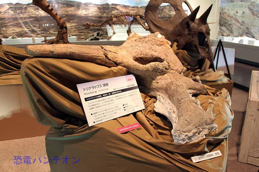 トリケラトプス頭骨