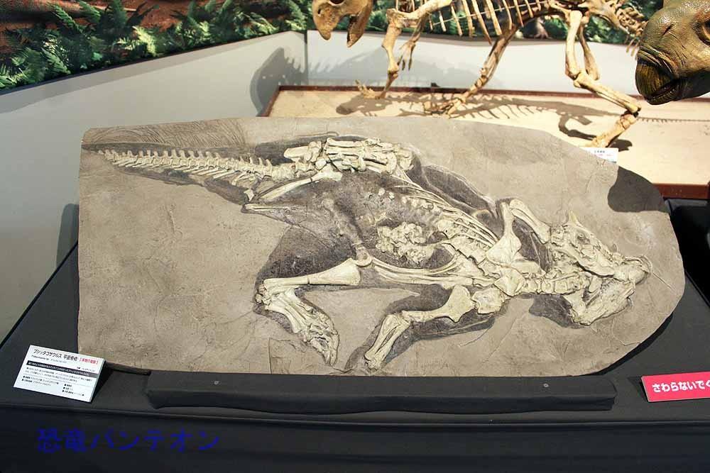 ミネラルショーでもよく見かける、尾に毛が生えたプシッタコサウルス。