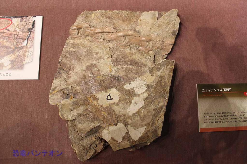 ユティランヌス・フアリ 羽毛痕跡が見える部分が別に展示されています。