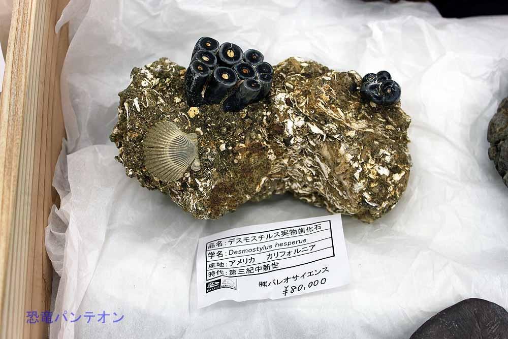 デスモスチルス実物歯化石8万円