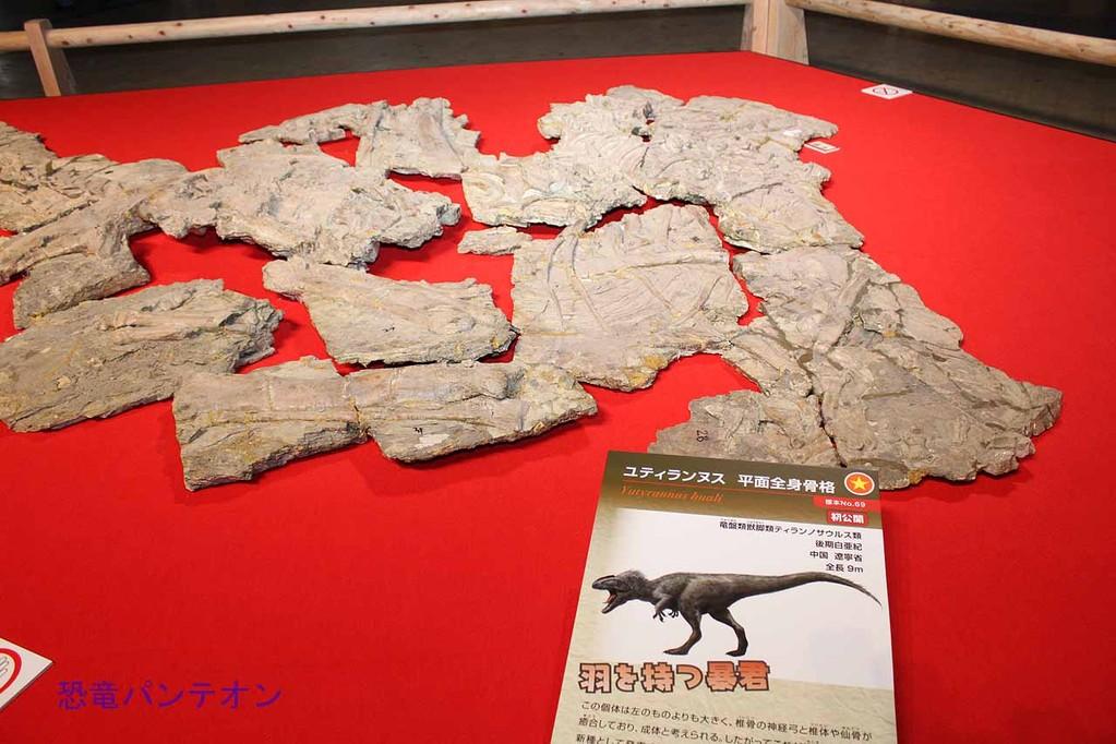 本博展示標本で1番の目玉、ユティランヌス・フアリの模式標本。平面で大きいので数枚続きます。