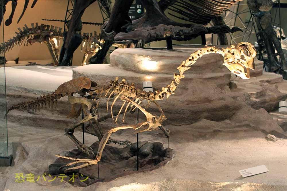 オヴィラプトル科の恐竜、シチパチ。このように骨格で展示は世界初とのこと。