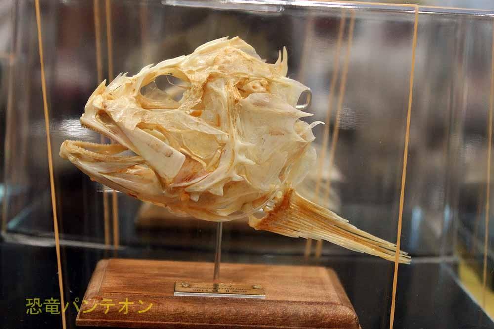 いぞらど isolado 本物の魚の頭骨です。