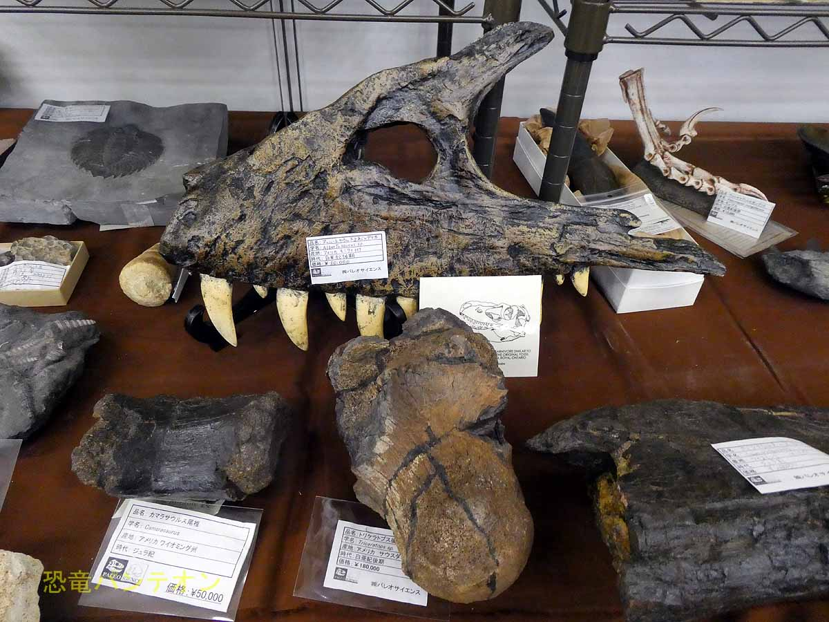 アルバートサウルス上顎レプリカ アメリカ・モンタナ州