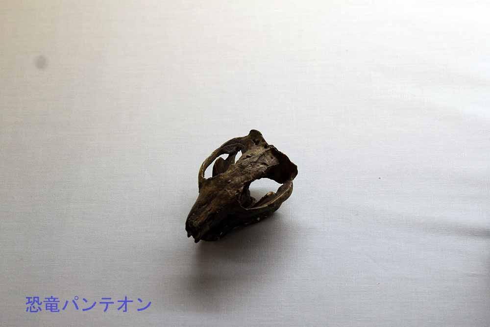 哺乳類頭骨