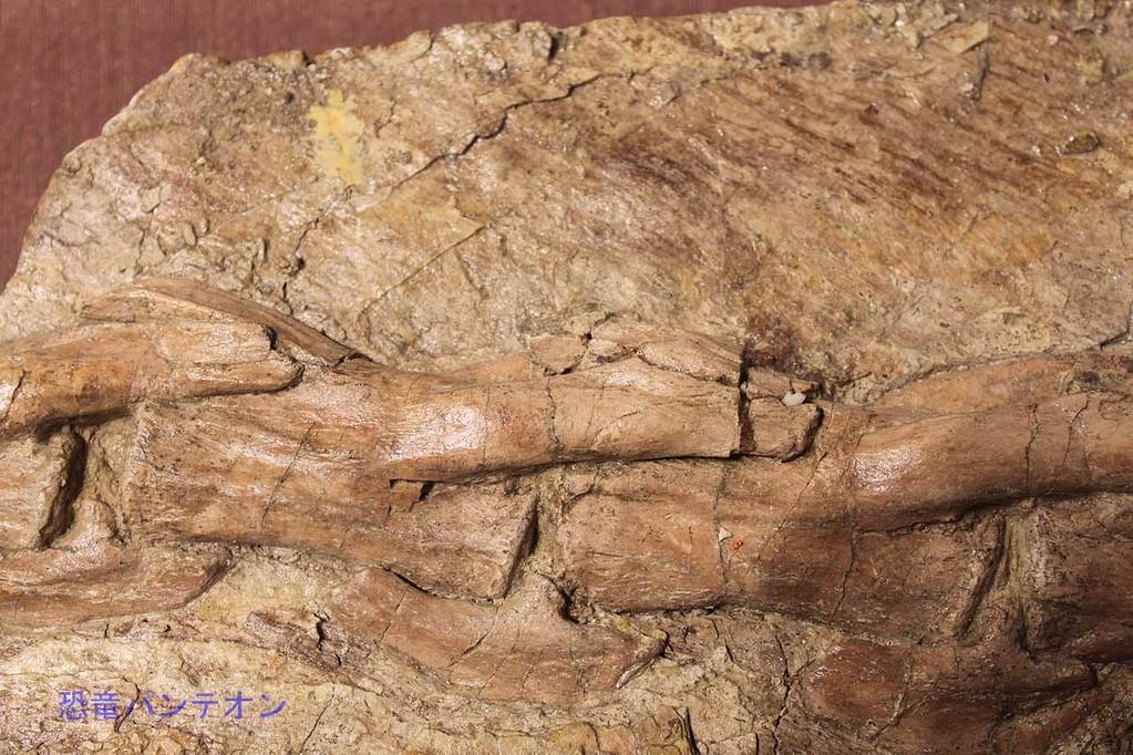 ユティランヌス・フアリ 羽毛痕跡部分