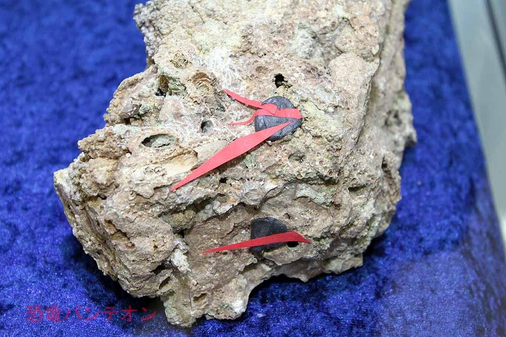 特別企画展示「ストロマトライト~地球に酸素をもたらした生物の化石」