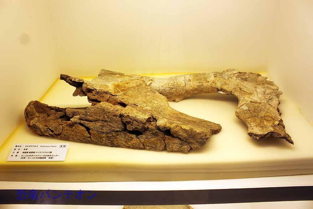 タルボサウルス恥骨(実物化石)