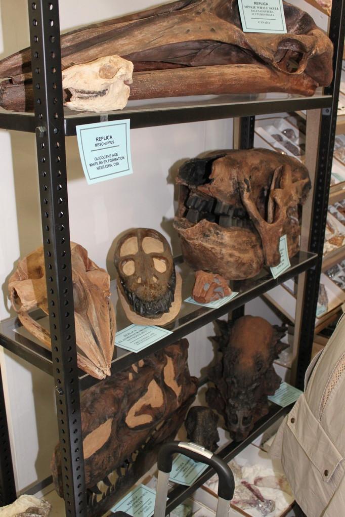 Treasures Of The Earth Ltd 棚の下方には恐竜頭骨も。