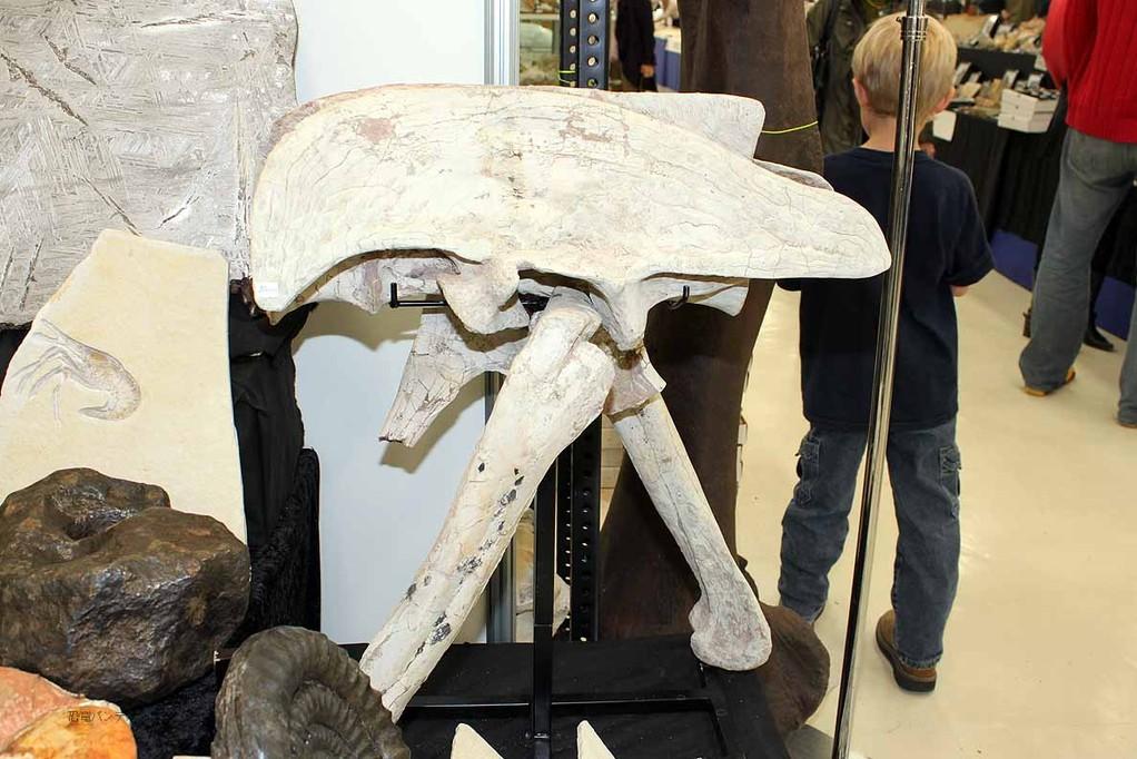 ガリミムスの骨盤。87万円と聞きました。