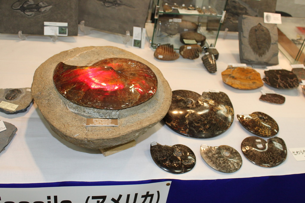 George Heslep Fossils アンモナイトなど。