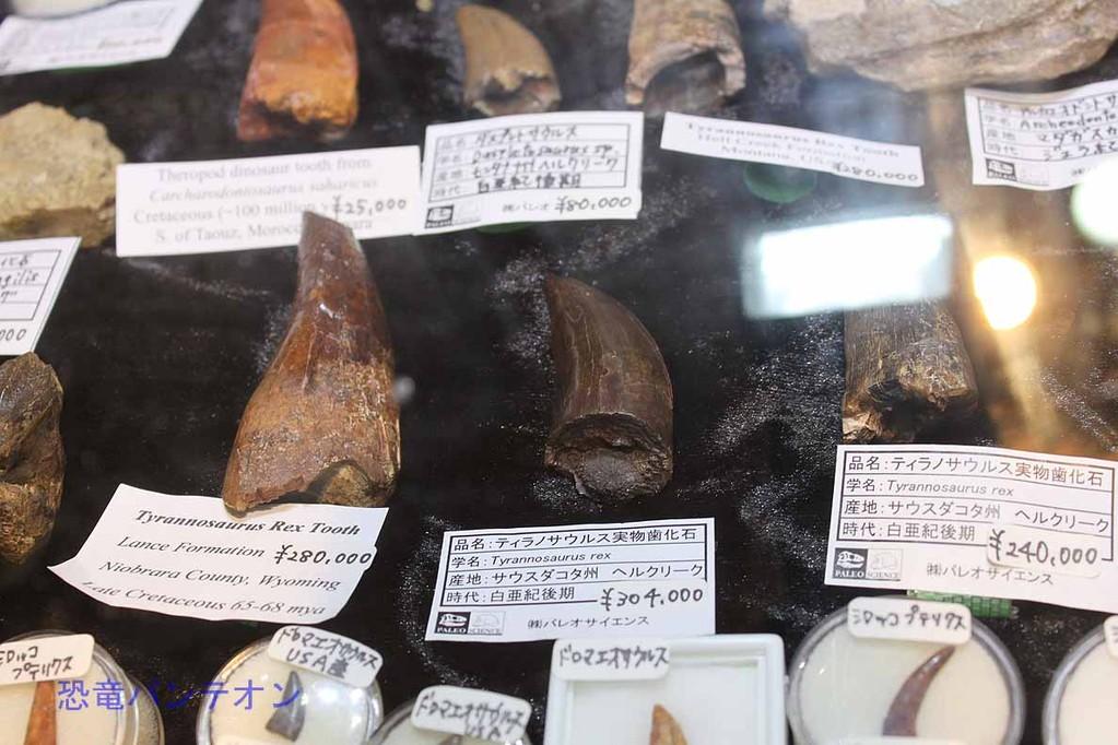 パレオサイエンス ティラノサウルス実物歯化石