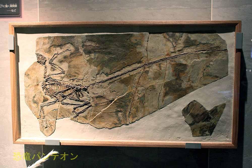 ミクロラプトル。これも新展示。バンビラプトルが展示されている壁に加わりました。
