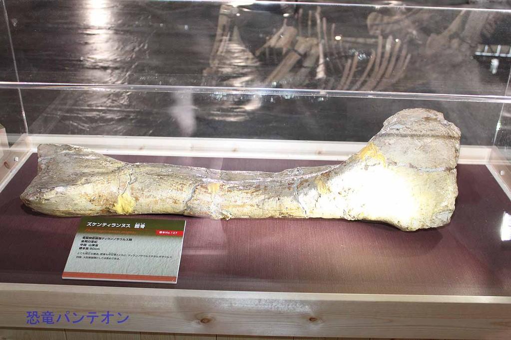 ズケンティランヌス脛骨