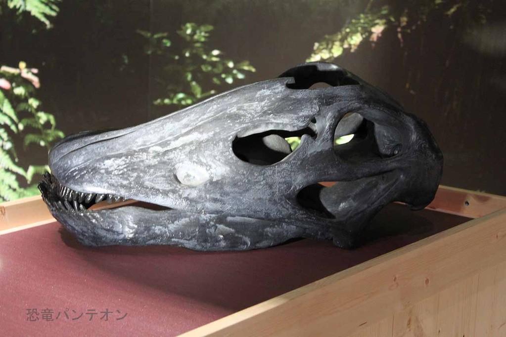 アパトサウルス頭骨