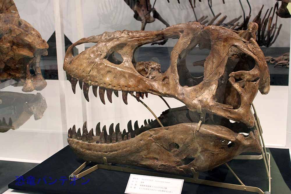 タルボサウルス成体(実物化石)