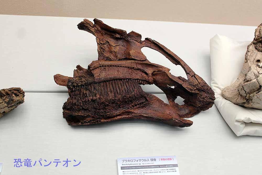 ブラキロフォサウルス頭骨