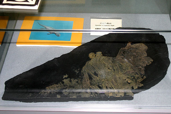 プラコドン類化石 三畳紀中期