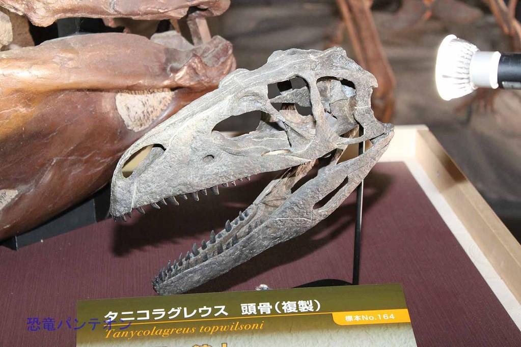 タニコラグレウス頭骨