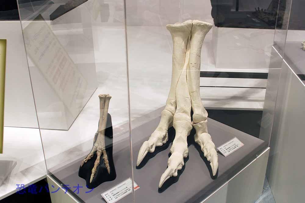 タルボサウルス足の比較
