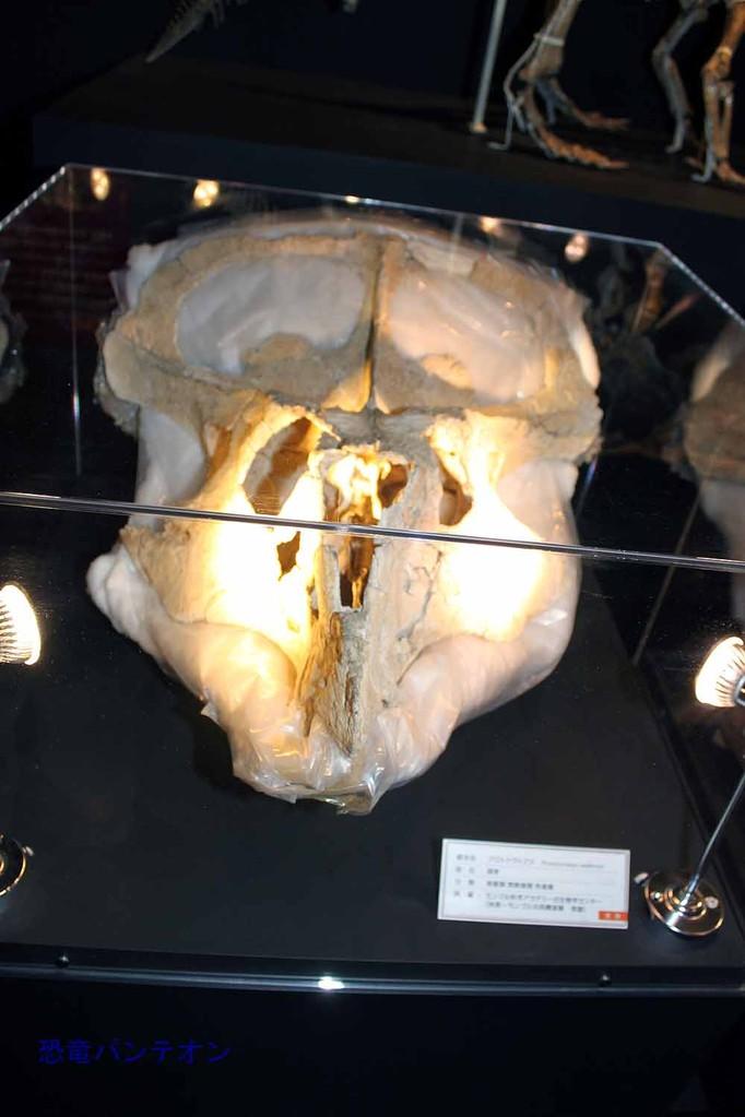 プロトケラトプス頭骨