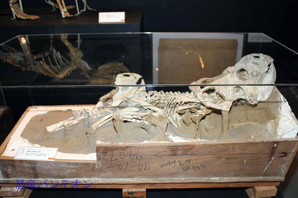 プロトケラトプス全身骨格(実物化石)