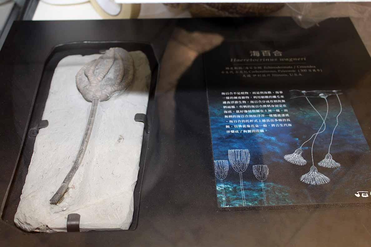 Peter Pittmann Fossilien 中国産のウミユリでしょうか