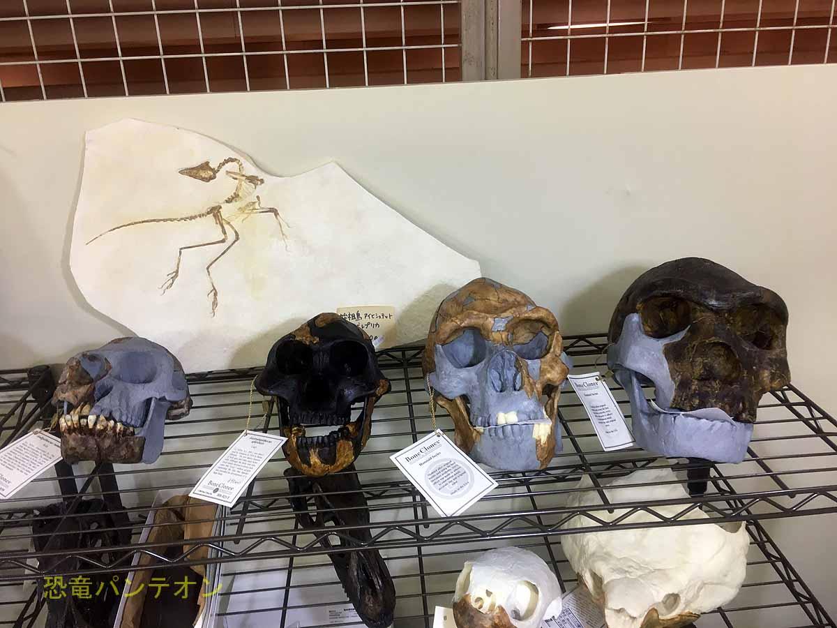 頭骨でも古人類のほう