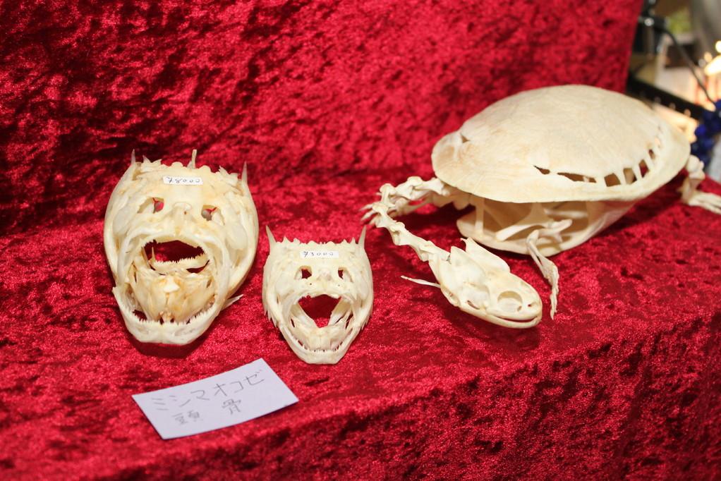 GALVANIC ミシマオコゼ頭骨、小さい方はCross East さんがゲット!
