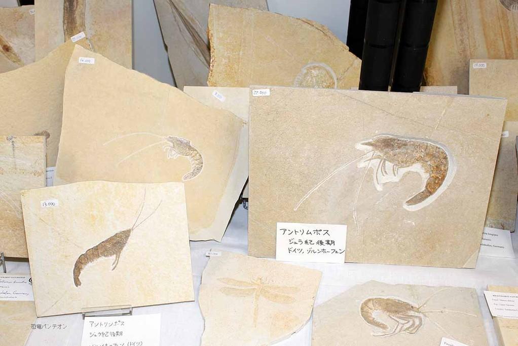 エビ類化石