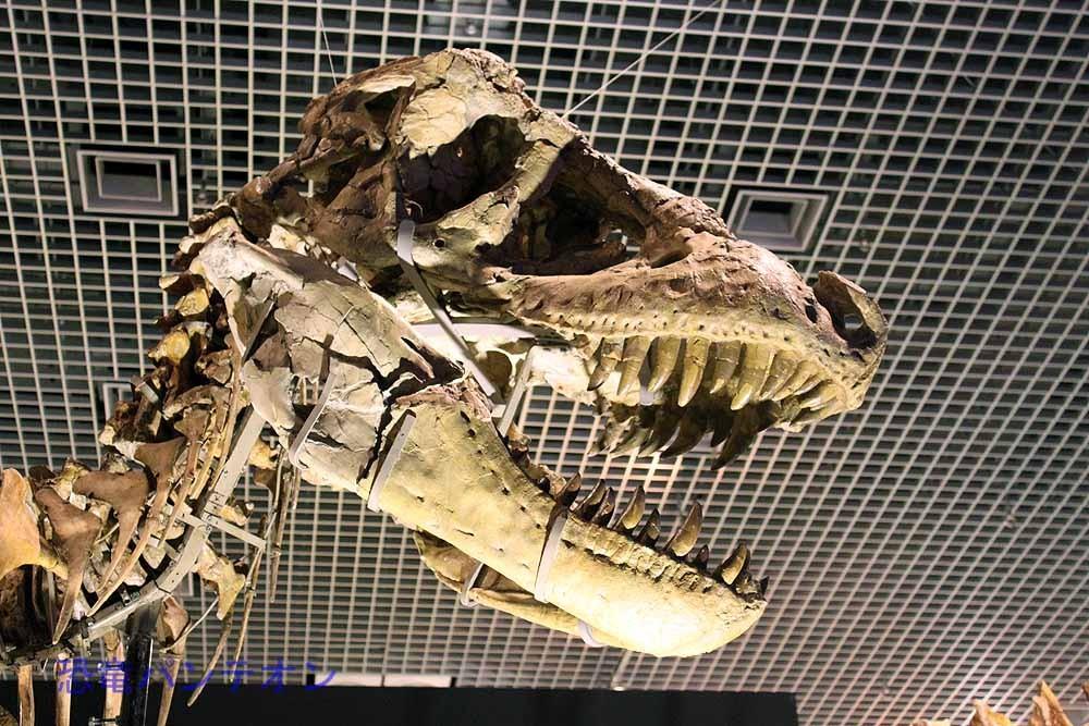 タルボサウルス(全身骨格中頭骨はレプリカ)