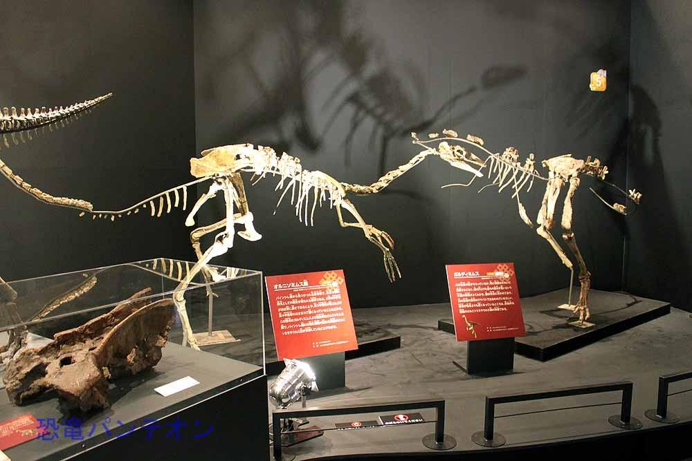 ガルディミムス(左・実物化石)とオルニソミムス類(右・実物化石)
