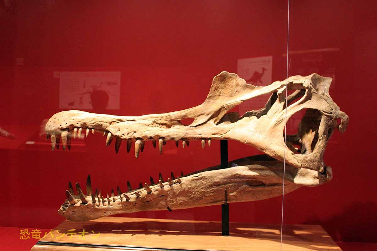 スピノサウルス頭骨、成城学園標本実物です。