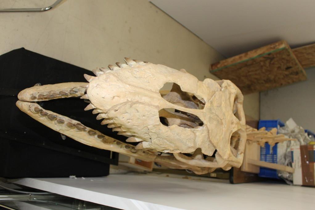 Peter Pittmann Fossilien おなじ頭骨です。
