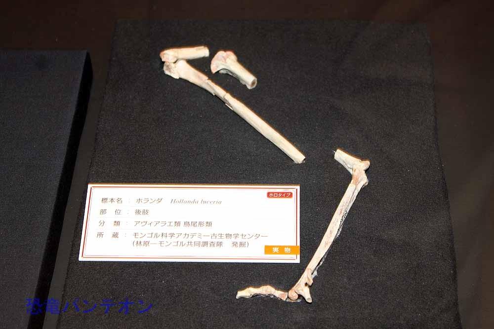 ホランダ(アヴィアラエ類 実物化石)