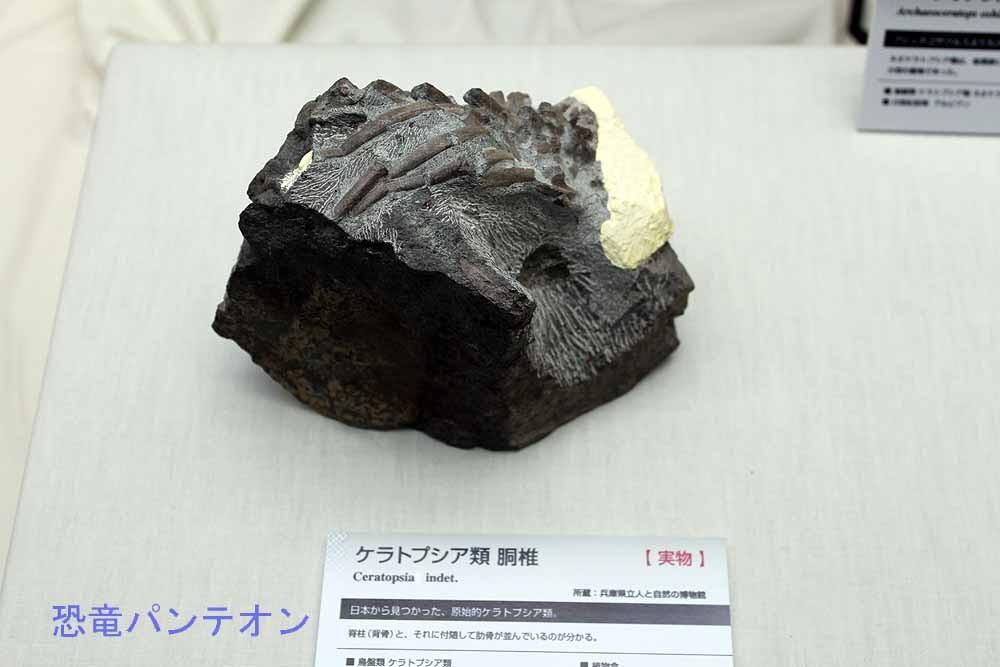 兵庫県丹波市の篠山層群から発見された、ケラトプシア類胴椎