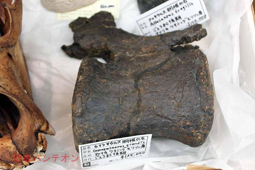 (株)パレオサイエンス カマラサウルス胴椎 米、ワイオミング州モリソン層