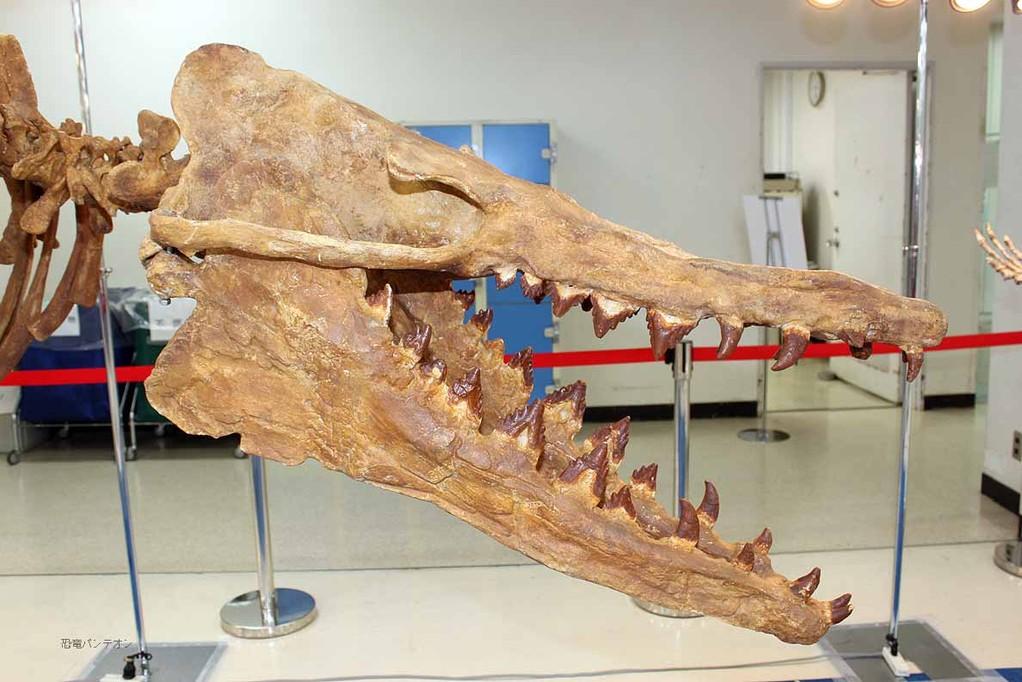 バシロサウルス頭骨