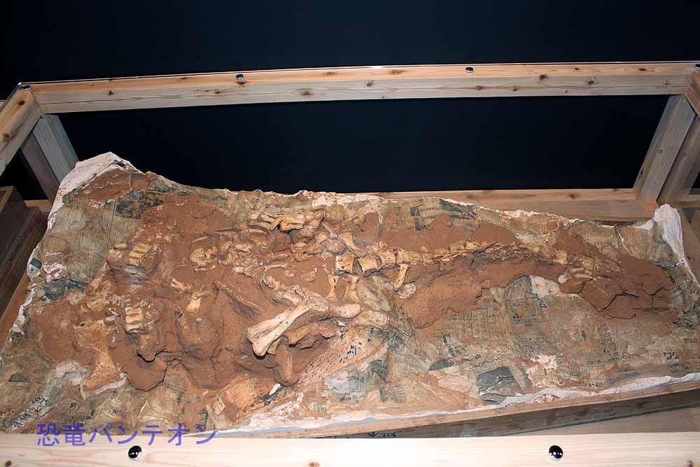 ピナコサウルス(実物化石)