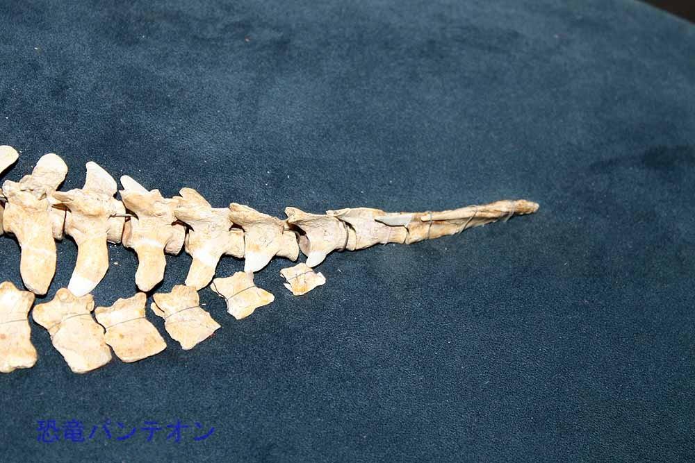 ノミンギア、尾椎先端の尾端骨に注目!